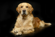 Are Golden Retrievers Hypoallergenic? Do They Shed a Lot?