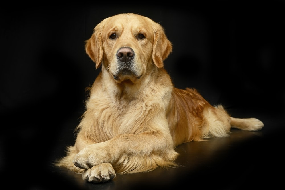 Are Golden Retrievers hypoallergenic Do they shed a lot