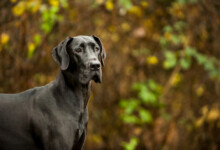 Are Great Danes Hypoallergenic? Do They Shed a Lot?