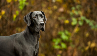 Are Great Danes hypoallergenic Do they shed a lot