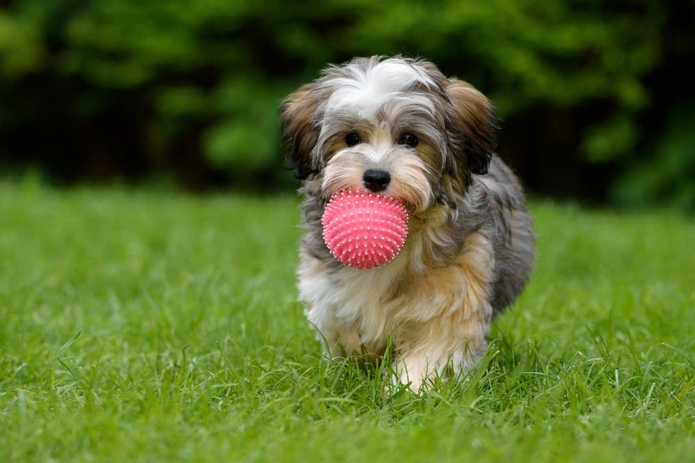 Are Havanese hypoallergenic Do they shed a lot