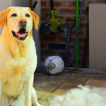 Are Labrador Retrievers Hypoallergenic?