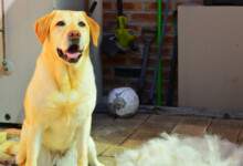 Are Labrador Retrievers Hypoallergenic?