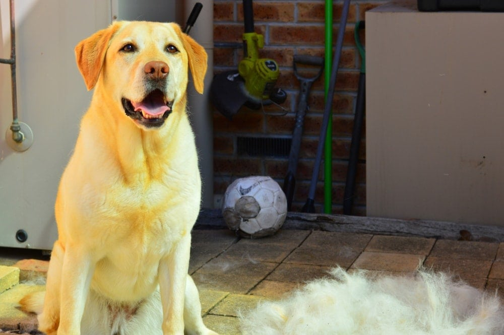 Are Labrador Retrievers hypoallergenic Do they shed a lot