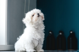 Are Maltese hypoallergenic Do they shed a lot