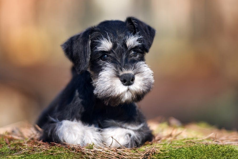 Are Miniature Schnauzers hypoallergenic Do they shed a lot