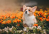 Are Pembroke Welsh Corgis Hypoallergenic? Do they Shed a Lot?