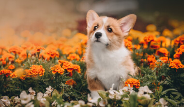 Are Pembroke Welsh Corgis hypoallergenic Do they shed a lot