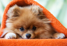 Are Pomeranians Hypoallergenic? Do They Shed a Lot?