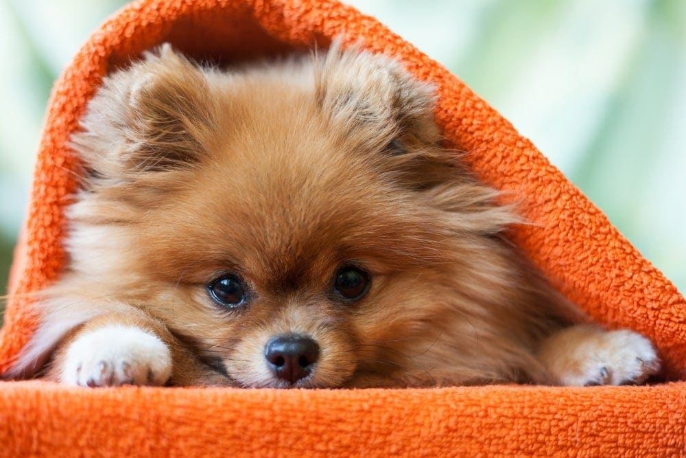 Are Pomeranians hypoallergenic Do they shed a lot