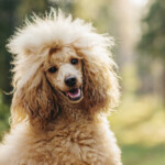 Are Poodles Hypoallergenic? Do They Shed a Lot?