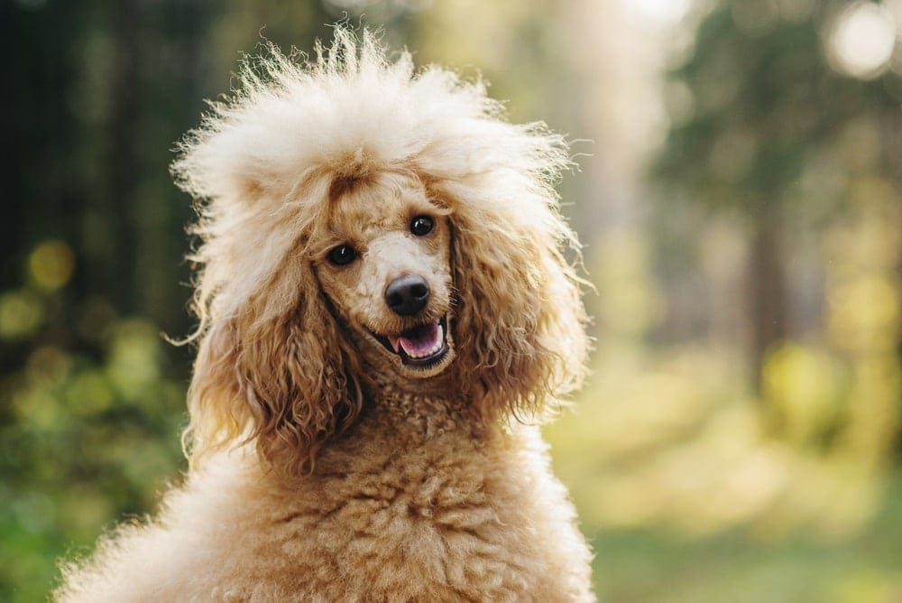 Are Poodles hypoallergenic Do they shed a lot