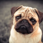 Are Pugs Hypoallergenic? Do They Shed a Lot?