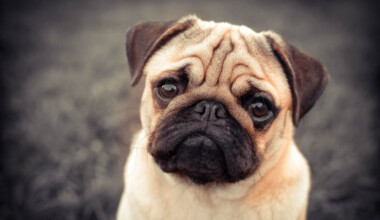 Are Pugs hypoallergenic Do they shed a lot