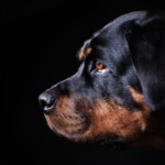 Are Rottweilers Hypoallergenic? Do They Shed a Lot?