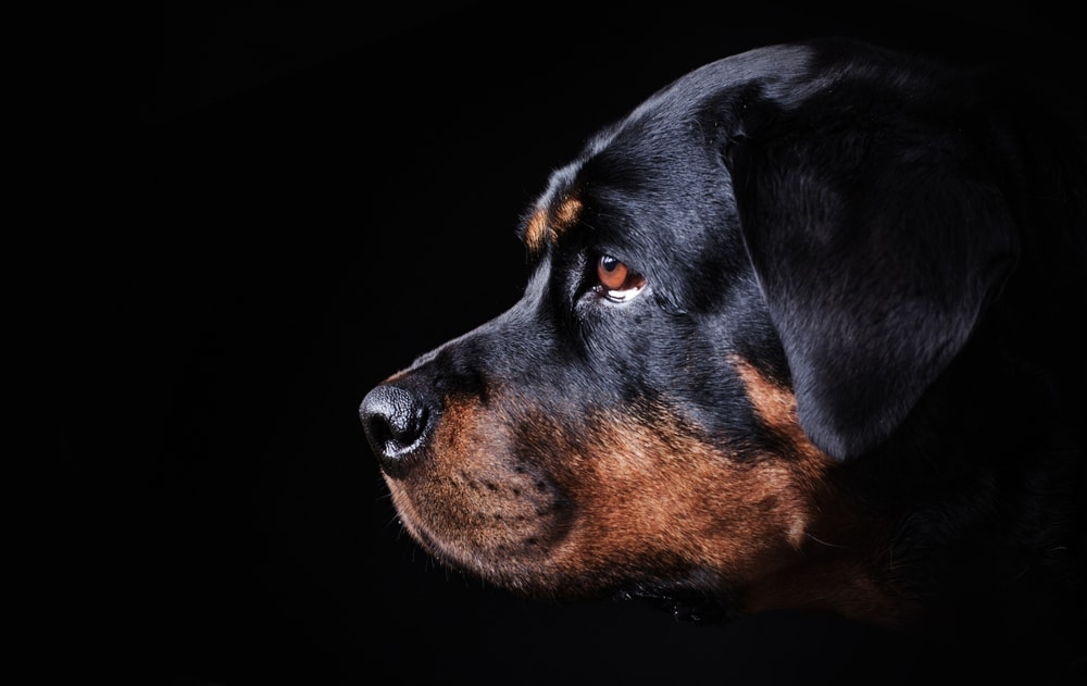 Are Rottweilers hypoallergenic Do they shed a lot