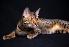 Are Savannah Cats Good Pets?