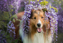 Are Shetland Sheepdogs Hypoallergenic? Do They Shed a Lot?