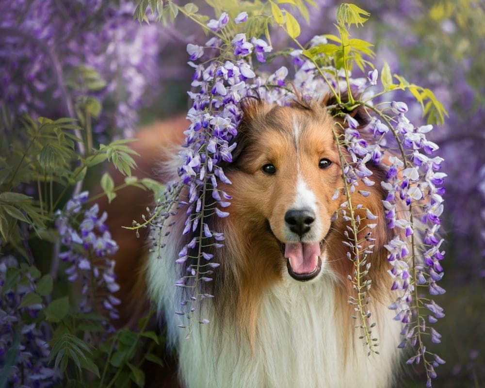 Are Shetland Sheepdogs hypoallergenic Do they shed a lot