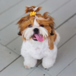 Are Shih Tzu Hypoallergenic? Do They Shed a Lot?