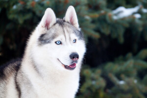 Are Siberian Huskies Hypoallergenic? Do They Shed a Lot?