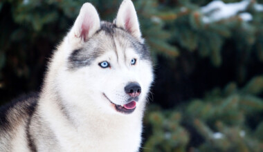 Are Siberian Huskies hypoallergenic Do they shed a lot
