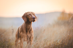 Are Vizslas hypoallergenic Do they shed a lot