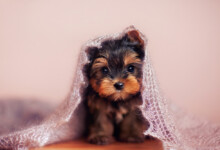 Are Yorkshire Terriers Hypoallergenic? Do They Shed a Lot?
