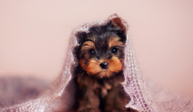 Are Yorkshire Terriers hypoallergenic Do they shed a lot