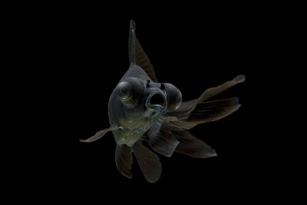 Black Moor Goldfish black background e1591442327269