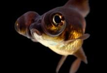 Black Moor Goldfish Care Guide: Diet, Breeding & More