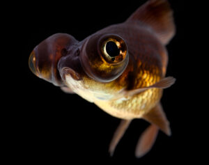 Black Moor Goldfish portrait