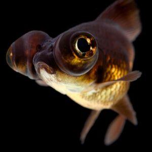Black Moor Goldfish - Care Guide & Info