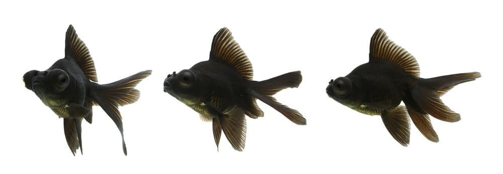 Black Moor Goldfish white background e1591442289966