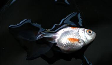 Can Too Much Dechlorinator Kill Fish