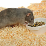 Can Pet Rats Eat Hamster Food?