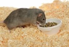 Can Pet Rats Eat Hamster Food?