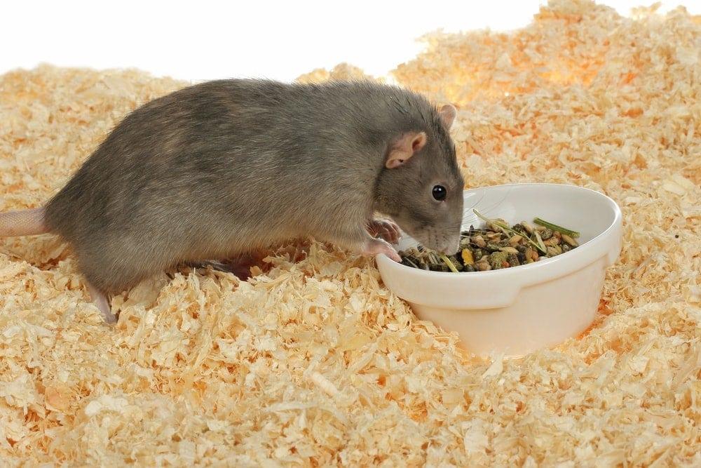 Can pet rats eat Hamster food