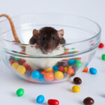 Can Pet Rats Eat Chocolate?