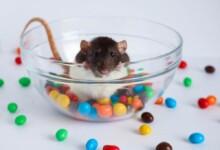 Can Pet Rats Eat Chocolate?