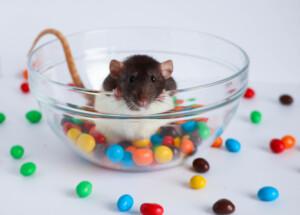Can pet rats eat chocolate