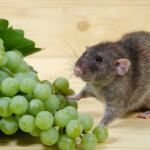 Can Pet Rats Eat Grapes?