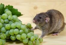 Can Pet Rats Eat Grapes?