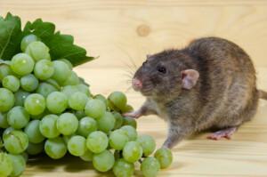 Can pet rats eat grapes 1