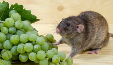 Can pet rats eat grapes 1