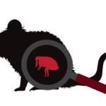 Can Pet Rats Get Fleas?