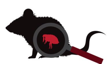 Can pet rats get fleas