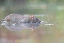 Can Pet Rats Swim?