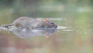 Can pet rats swim
