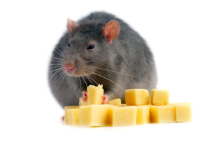 Can rats eat cheese